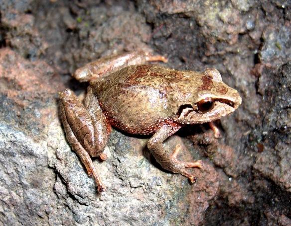 Pristimantis tungurahua. Photo: Juan Pablo Reyes.