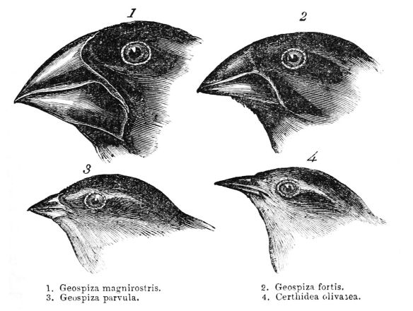 Gould's plate of Darwin's Finches. Creative Commons