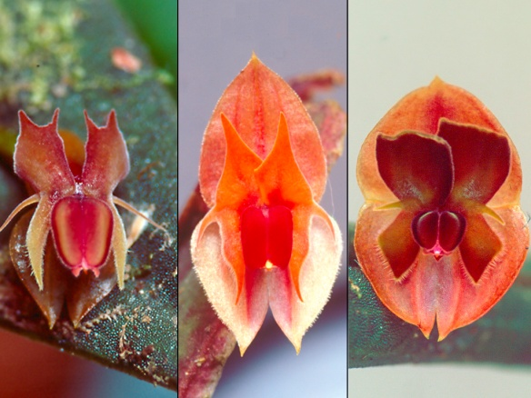 Evolutionary radiation of Lepanthes orchids in the upper Rio Pastaza watershed. Left: a widespread species, L. mucronata. Middle and right: two new species I discovered here, closely related to L. mucronata. These are L. abitaguae (middle) and L. pseudomucronata (right). Photo: Lou Jost/EcoMinga.