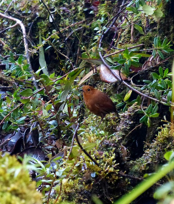 Can't have a Darwin Day post without including a picture taken by our own Darwin Recalde. Darwin is Jesus' son and a great young naturalist. Here he has managed to photograph an elusive Rufous Antpitta standing on a bunch of Teagueia. Photo: Darwin Recalde/EcoMinga.