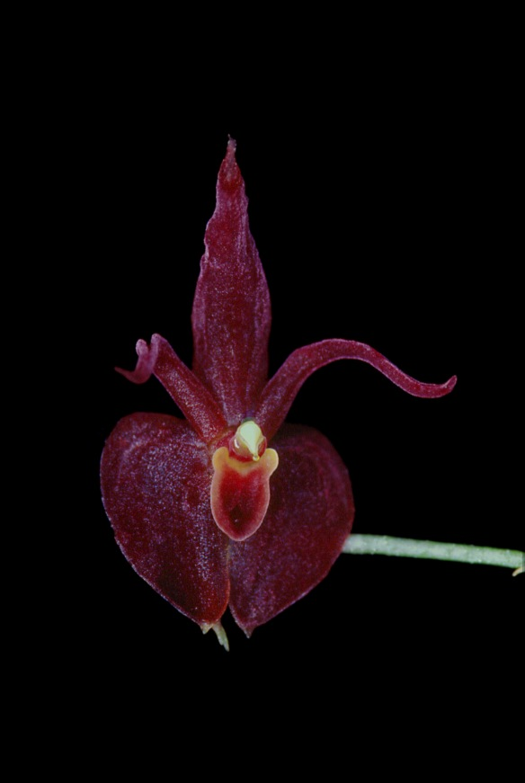 Teagueia alyssana, one of the new Teagueia species I discovered on Cerro Mayordomo. Photo: Lou Jost/EcoMinga.