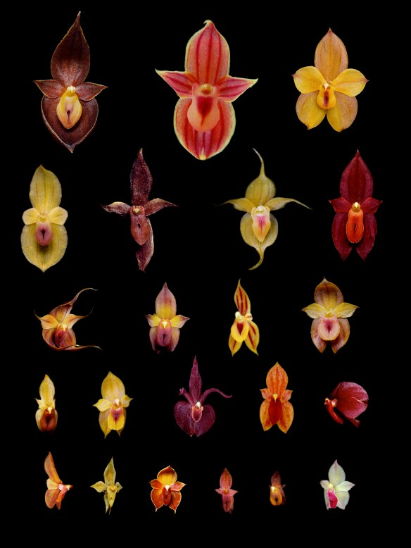 Some of the new creeping Teagueia species discovered by my students and I in the upper Rio Pastaza watershed. All flowers are photographed at the same magnification so relative sizes are accurately shown. Click to enlarge! Photos: Lou Jost/EcoMinga.