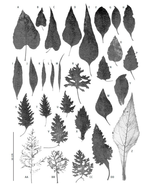 Leaf shapes of different species of Scalesia . From U. Eliasson (1974) Studies in Galápagos Plants. XIv. The Genus Scalesia Arn. Opera Botanica 36: 1–117, under Fair Use.
