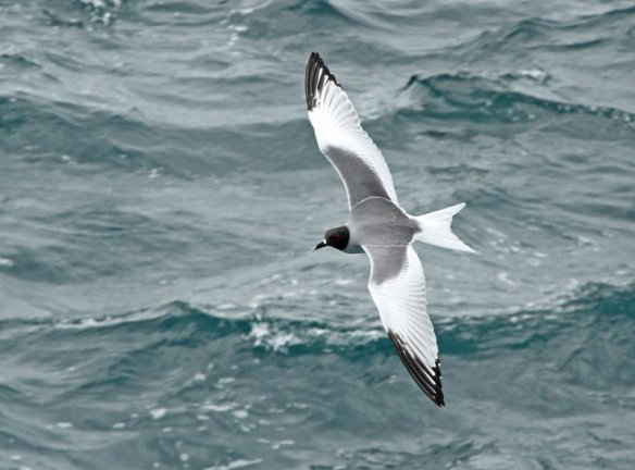 The strong-flying Swallow-tailed Gull is endemic to the Galapagos but is the same on all the islands. Photo courtesy of Roger Ahlman.