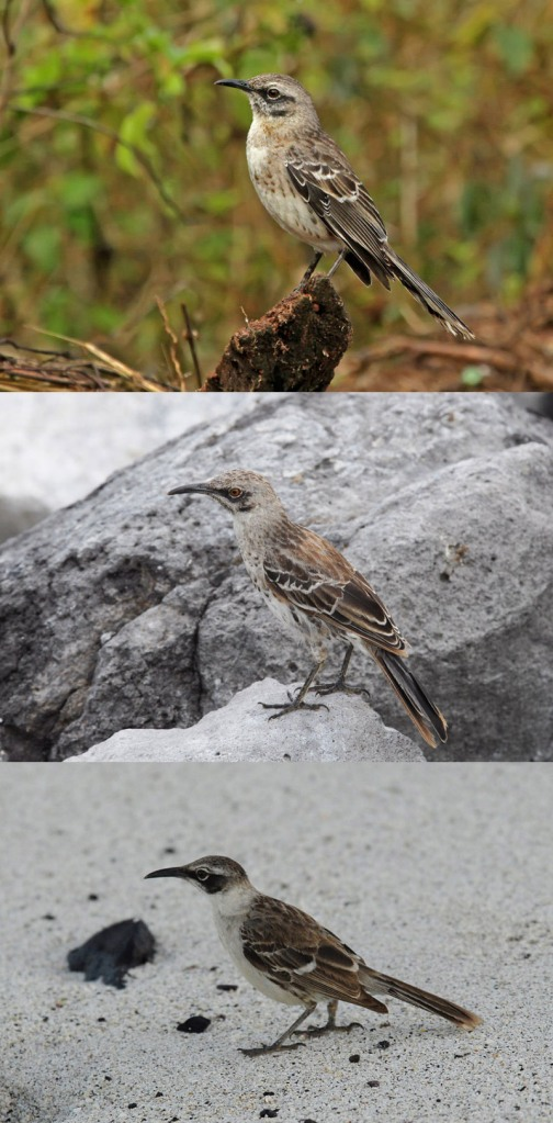 The San Cristobal (Chatham) Mockingbird (top), Espanola (Hood) Mockingbird (middle), and Galapagos Mockingbird (bottom). Mockingbirds are not strong flyers, and have speciated on different island groups. Photos courtesy Roger Ahlman.