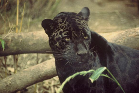 """Black jaguar, probably with one copy of the melanistic allele and one copy of the normal allele. Photo"""" Wikipedia."""