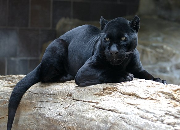 Deep black jaguar, probably with a double dose of the gene for melanism. Photo: Wikipedia.