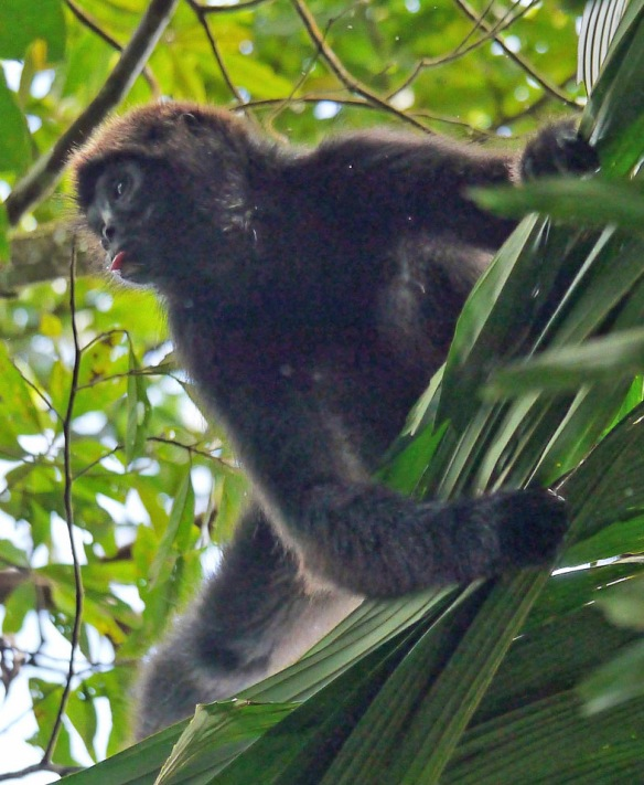 Brown-headed Spider Monkey from Canande, a Jocotoco Foundation reserve at much lower elevation than our Dracula Reserve. Photo taken by one of EcoMinga's directors, Nigel Simpson.