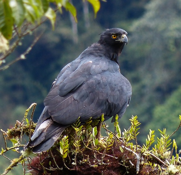 Black-and-chestnut Eagle (Spizaetus isidori) in our Cerro Candelaria Reserve. Photo: Fausto Recalde/EcoMinga.