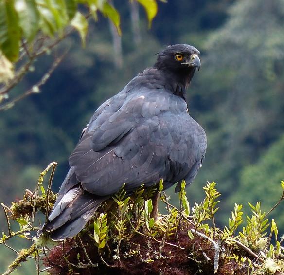 Black-and-chestnut Eagle (Spizaetus isidori) in our Cerro Candelaria Reserve. Photo: Fausto Recalde/EcoMinga.