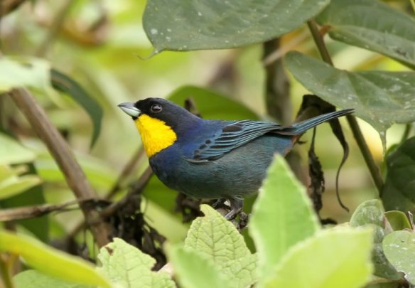 Purplish-mantled Tanager. Photo: Roger Ahlman.