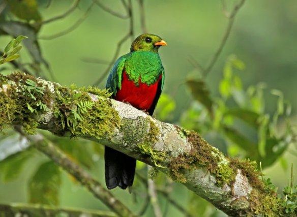 Golden-headed Quetzal. Photo: RogerAhlman.
