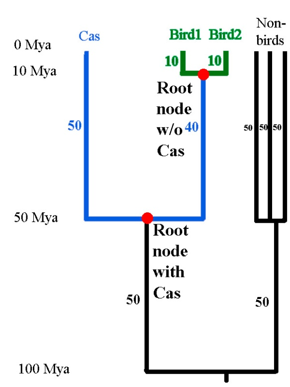 Figure 3. The root node for Faith's phylogenetic diversity shifts, depending on whether or not a Cassowary was observed in the sample. This causes a disproportionately large change in Faith's phylogenetic diversity (PD). When a Cassowary is not found, Faith's PD = 20 My. When a Cassowary is found, Faith's PD = 160 My.