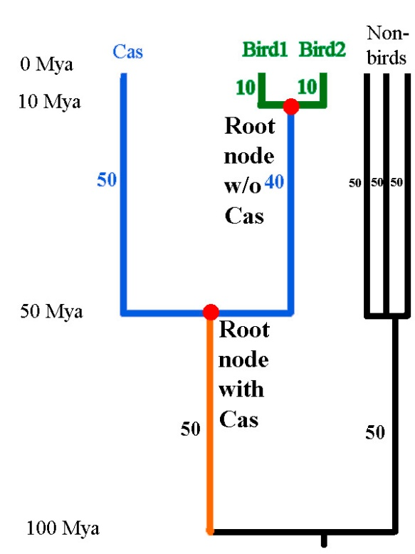 Figure 4. Even when the Cassowary is detected in the sample, the branch in orange is not included in Faith's phylogenetic diversity, though this evolutionary history is unique to the birds (the group under study) and not shared with the non-birds.