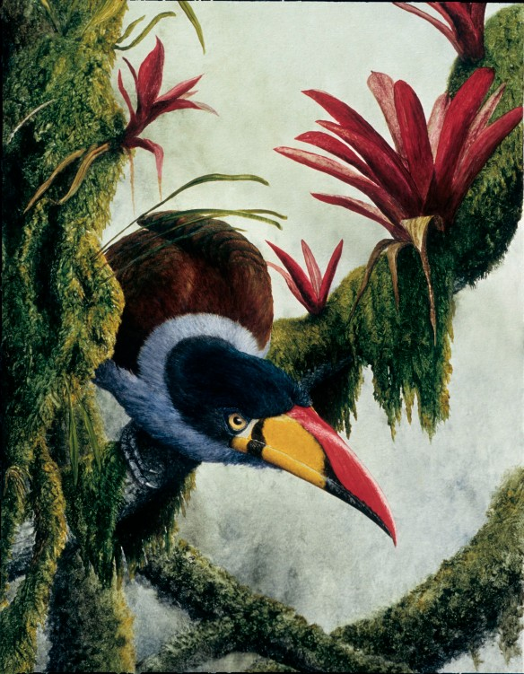 Gray-breasted Mountain-Toucan (Andigena hypoglauca). Painting by Lou Jost.