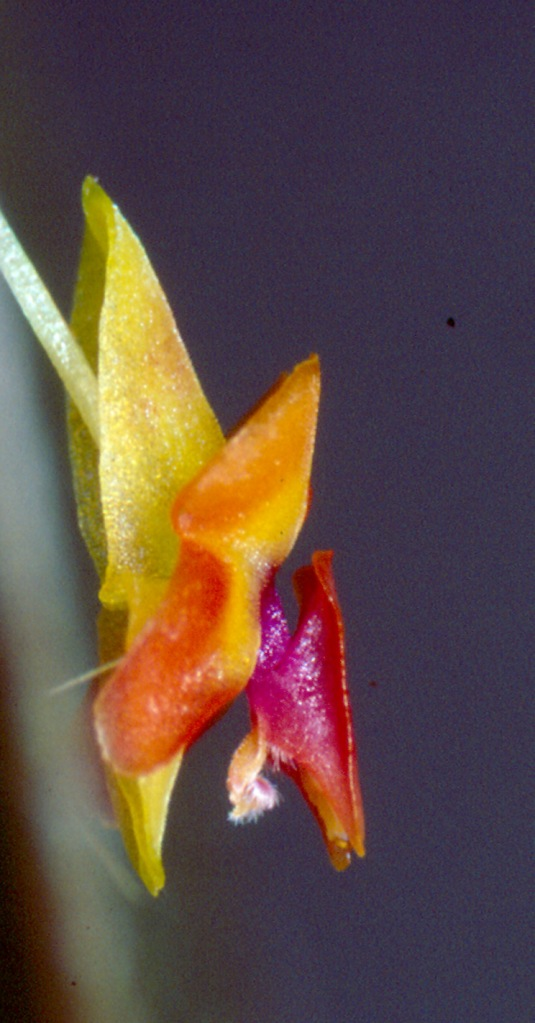 Lepanthes ornithocephala, which I named for the distinctive large white appendix (fake female fly genitalia; see text), resembling a bird's head and beak. Photo: Lou Jost/EcoMinga.