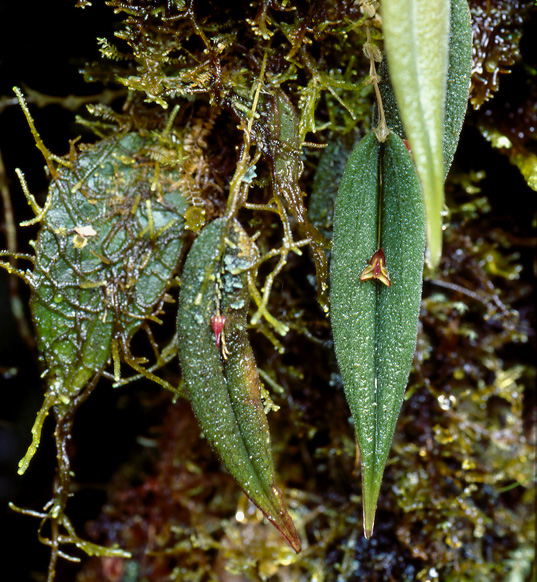 Lepanthes mooreana in habitat, partly covered with moss. This species is a recent discovery, now protected by our Rio Zunac Reserve. Photo: Lou Jost/EcoMinga.