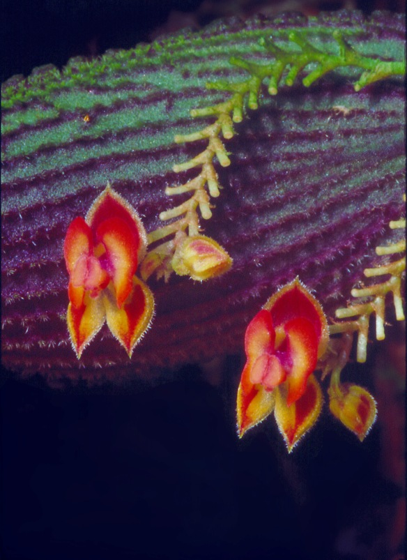This Lepanthes shows the continuous flowering habit typical of the genus. The fishbone-like structures are old flower stems. Each time a flower falls off, a new one opens on the continuously-extending inflorescence. Photo: Lou Jost/EcoMinga.