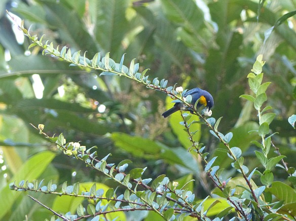 Purplish-mantled Tanager trying to carry off a fruit of an ericaceous shrub. Photo; Lou Jost/EcoMinga.