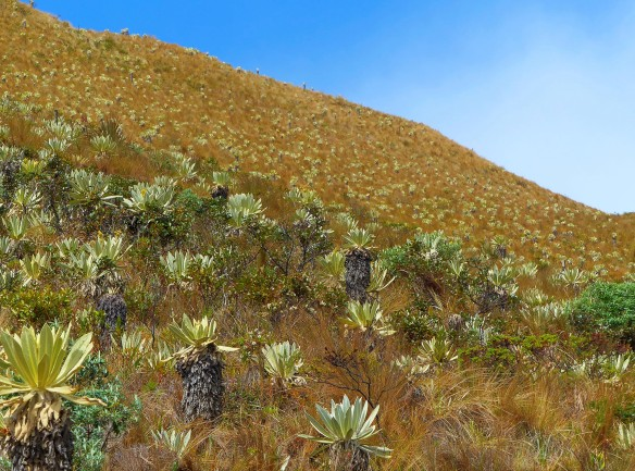The Espeletia-studded paramo of Volcan Chiles. Photo: Lou Jost/EcoMinga.