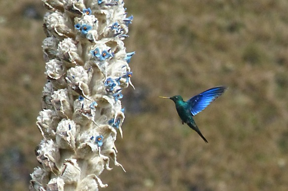 Puya bromeliad visited by a Great Sapphirewing hummingbird on the paramo of Volcan Chiles. Photo: Lou Jost/EcoMinga.