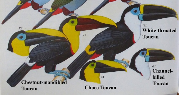 Mimicry among co-existing toucans: White-throated and Channel-billed Toucans live together in the Amazon and look the same. Chestnut-mandibled and Choco Toucans live together in the lowlands west of the Andes and look the same. Nevertheless, the Chestnut-mandibled Toucan's closest relative is the very dissimilar White-throated Toucan, and the Choco Toucan's closest relative is the very dissimilar Channel-billed Toucan. Modified from Ridgely and Greenfield's Aves del Ecuador.