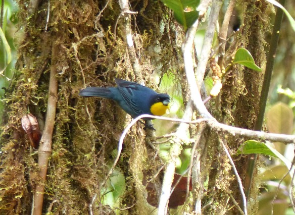 Purplish-mantled Tanager in our Dracula Reserve. Photo: Lou Jost