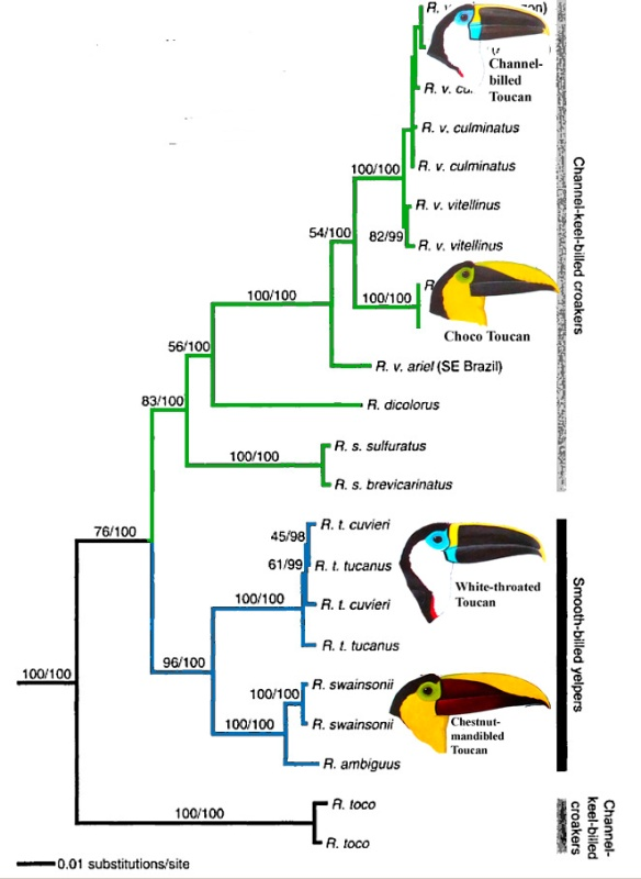 Ramphastos toucan phylogeny, from Weckestein (2005), with toucan heads from Ridgely and Greenfield, Aves de Ecuador.