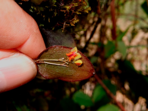 A typical Lepanthes species, with flowers hidden under the leaves. This seems to be an undescribed species. Photo: Lou Jost/EcoMinga.