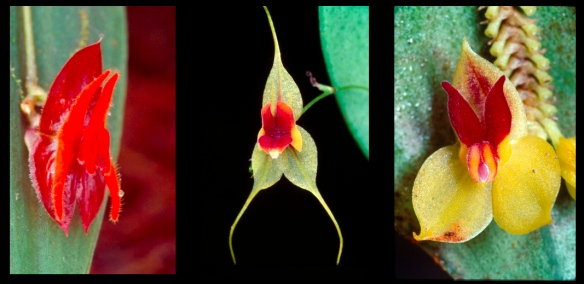 Left to right: Lepanthes spruceana, endemic to the Cordillera Abitagua, L. neillii , endemic to the Cordillera del Condor, and L. llanganatensis, a species endemic to the upper Rio Pastaza watershed. Photos: Lou Jost/EcoMinga.