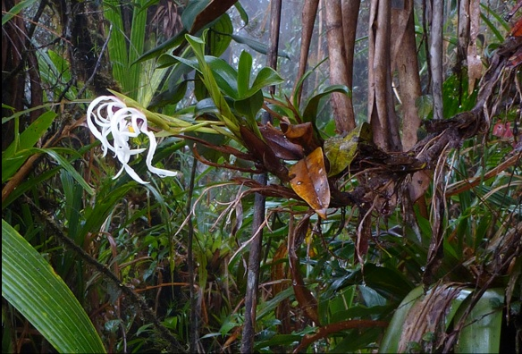 A Maxillaria orchid exposed to the atmosphere in the cloud forest of Abitagua. Photo: Lou Jost/EcoMinga.
