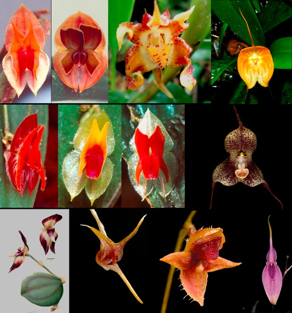 Some orchid species unique to the Cordillera Abitagua, all living between 1700m and 2300m. Left to right within rows: Lepanthes abitaguae, L. pseudomucronata, Maxillaria sp. nov., Masdevallia delhierroi, L. spruceana, L. sp.nov., L. zunagensis, Dracula fuligifera, Neooreophilus viebrockianus, Scaphosepalum jostii, Trichosalpinx zunagensis, Teagueia zeus. To appreciate their details, click to enlarge. Photos: Lou Jost/EcoMinga