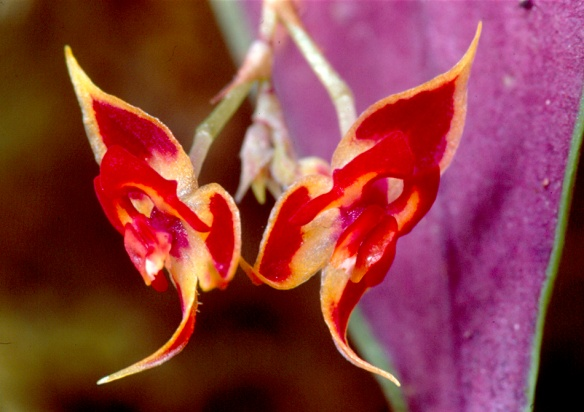 Lepanthes lophius. Photo: Lou Jost/EcoMinga.