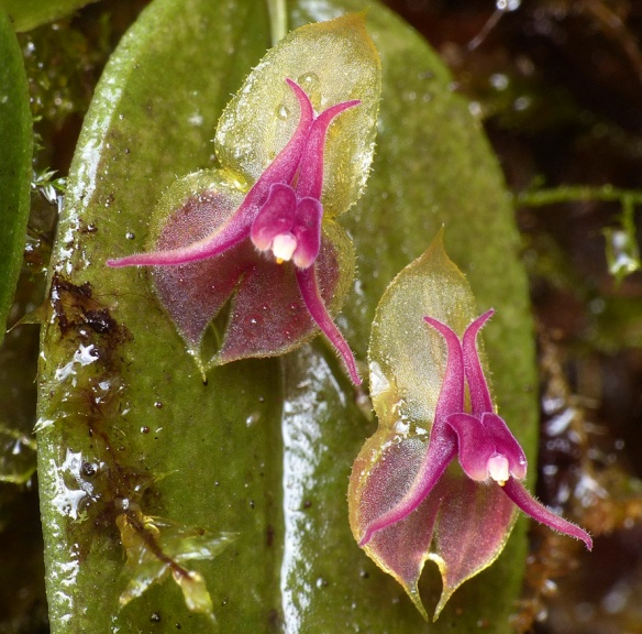 Lepanthes meniscophora in our Dracula Reserve. Photo: Lou Jost/Ecominga.