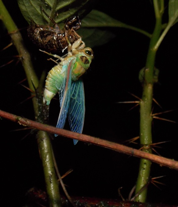 Side view, emerging cloud forest cicada. Photo: Luis Recalde/EcoMinga.