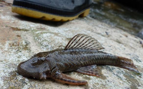 Armored catfish. Photo: Luis Recalde/EcoMinga.