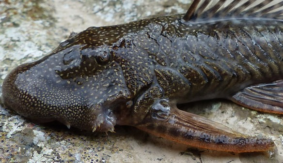 Armored catfish detail. Note spiky fish hairs on the tips of the enlarged spines of the pectoral fins.  Photo: Luis Recalde/EcoMinga.