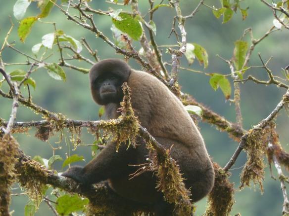 Woolly monkey this week in the Rio Zunac Reserve. Photo: Luis Recalde/EcoMinga.