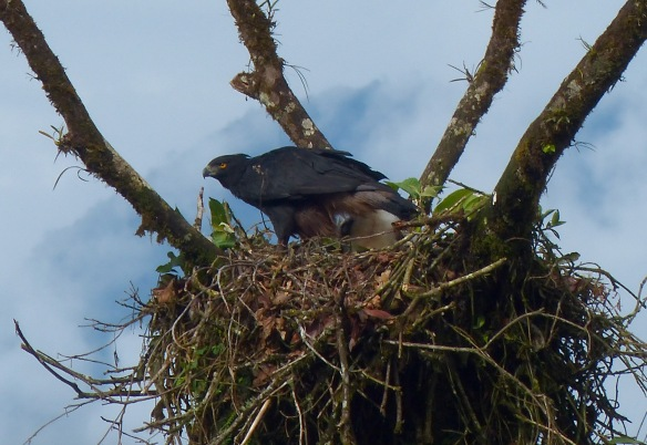 Black-and-chestnut Eagle (Spizaetus isidori) and chick at their Rio Zunac nest this week. Photo: Luis Recalde/EcoMinga.