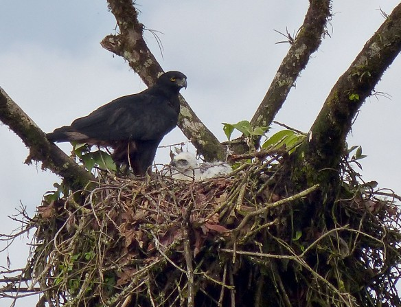 Blck-and-chestnut Eagle (Spizaetus isidori) and chick in their nest this week. Luis Recalde/EcoMinga.