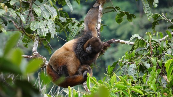 Woolly Monkey in our Rio Zunac Reserve. Note the black mane. Photo: Santiago Recalde/EcoMinga.