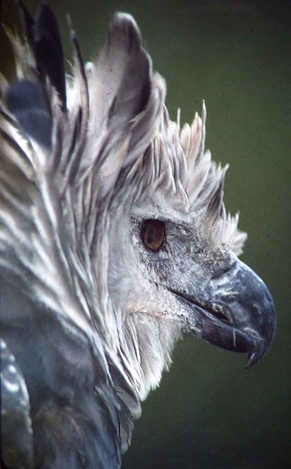 Captive Harpy Eagle. Photo: Lou Jost/EcoMinga.