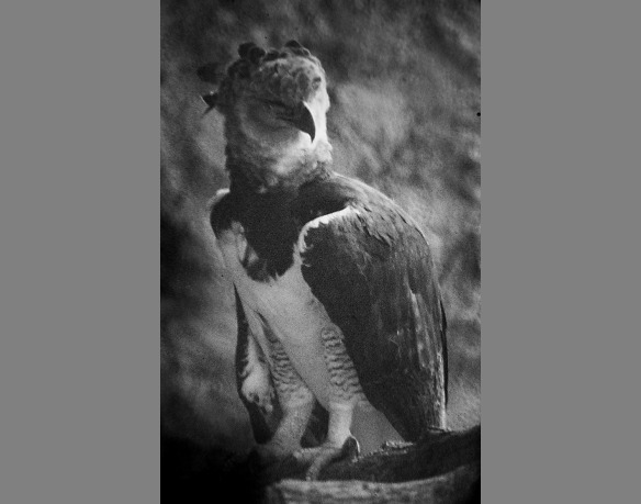 Oldest known Harpy Eagle. Tuxtla zoo, Chiapas, Mexico, 1985. Photo: Lou Jost.