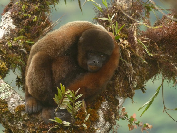 Woolly Monkey in our Rio Zunac Reserve. Photo: Fausto Recalde/EcoMinga.