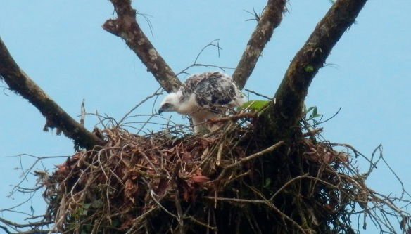 The star of the show, the latest picture of our baby Black-and-chestnut Eagle. It continues to grow very fast. Photo: Angel de Pazo Carballo.