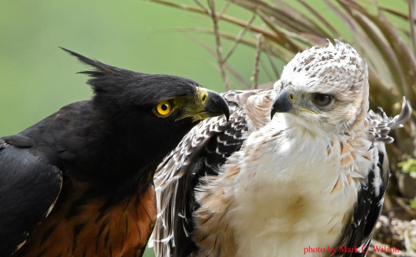 An adult male Black-and-chestnut Eagle and its chick share a moment. This was taken at the Napo nest. Photo copyright Mark Wilson.