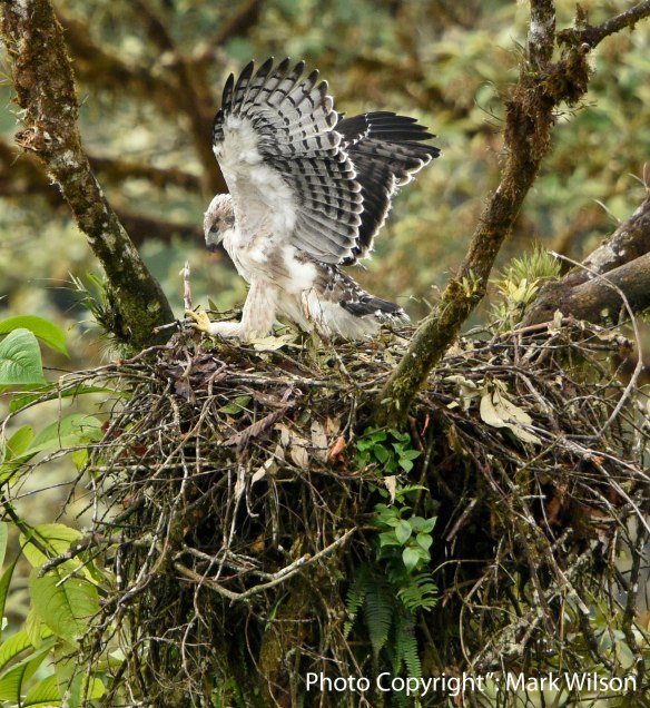 A young black-and-chestnut eagle exercises in the nest.