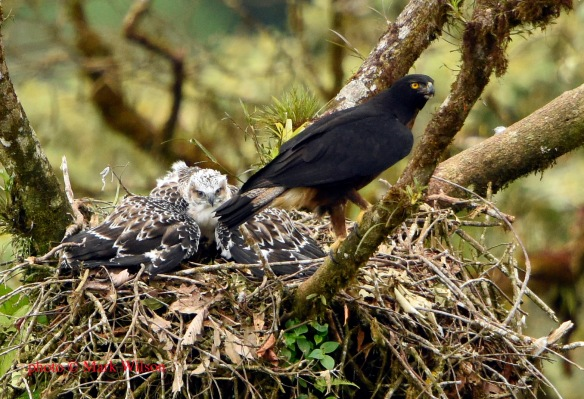 Our Black-and-chestnut Eagle chick mantles prey that its parent just delivered to the nest. Photo copyright Mark Wilson.