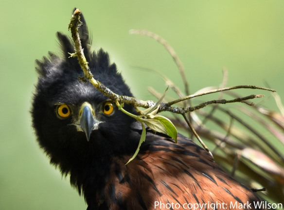 The adult female Black-and-chestnut Eagle at the Napo nest brings fresh greenery to the nest and then briefly stares at the photo blind on a nearby hillside. Photo: Mark Wilson.