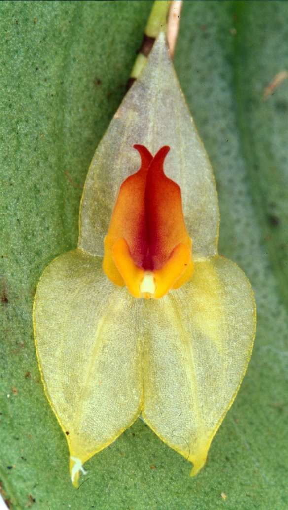Lepanthes mayordomensis, a new species so far found only on the land we hope to purchase for the corridor. Photo: Lou Jost/EcoMinga.
